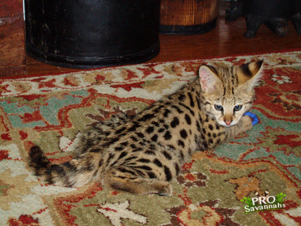 Prosavannahs Tennessee Kittens For Sale